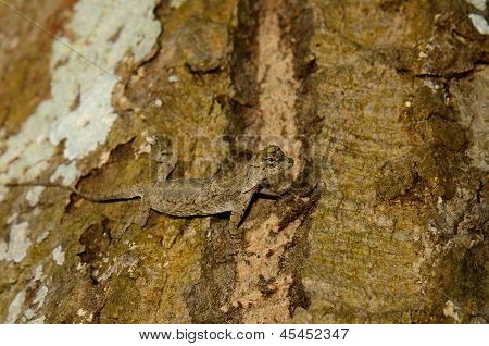 Common Gliding Lizard Or Common Flying Drago(drago Volans)
