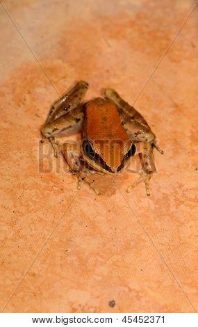 Dark-sided Frog (rana Nigrovittata)