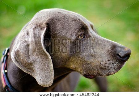 Close up profile portrait of Weimaraner dog