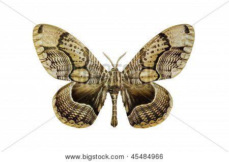 Tiger Faced Brahm Moth