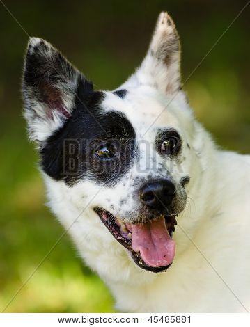 Portrait of blue heeler or Australian cattle dog