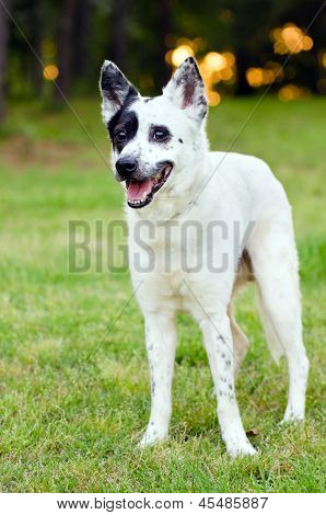 Portrait of blue heeler or Australian cattle dog