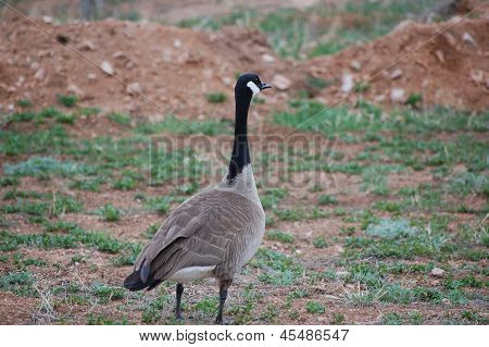 A Canadian Goose (branta Canadensis) In A Field Looking Off Into The Distance