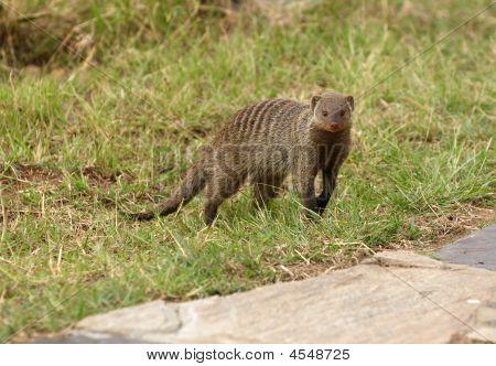 African Mongoose