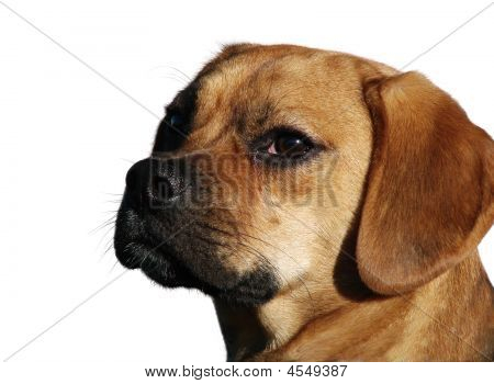 Puggle Beagle Isolated Head
