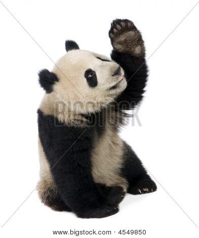 Giant Panda (18 Months)-Ailuropoda melanoleuca