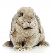 foto of dwarf rabbit  - gray lop - JPG