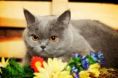 picture of portrait british shorthair cat  - funny blue british shorthair cat on hayloft - JPG