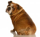 foto of derriere  - english bulldog sitting with back turned towards the camera - JPG
