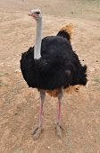 stock photo of long-legged-birds  - African wild ostrich large flightless bird with long neck and legs - JPG