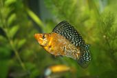 stock photo of diskus  - Sailfin Molly Peocilia velifera sweetwater fish in aquarium - JPG