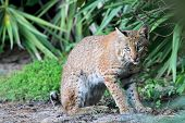 stock photo of bobcat  - Wild Bobcat (Lynx rufus) relaxing in Florida