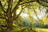 Oak Tree And Meadow
