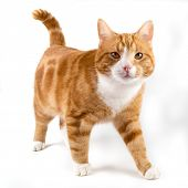 pic of inquisition  - red male cat walking towards camera isolated in white - JPG
