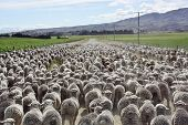 foto of oxidation  - A mob of Merino hoggets walking to the yards - JPG
