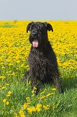 stock photo of schnauzer  - Big Black Schnauzer Dog sitting in dandelion meadow - JPG