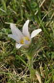 White Pasque Flower