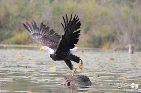 image of fish-eagle  - Bald eagle taking flight from a log on lake with fish in talons - JPG