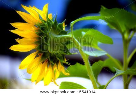 Virginia Sunflower - Helianthus Annuus