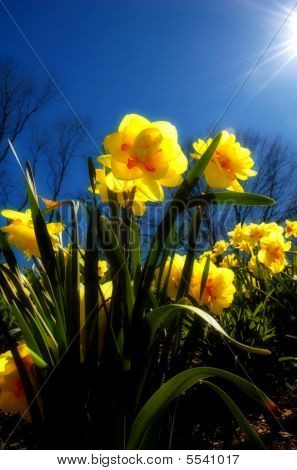 Virginia Spring Daffodils - Narcissus