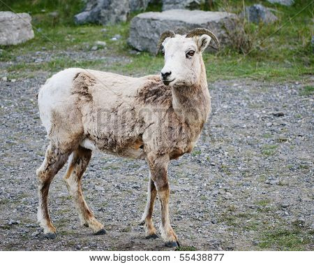 Ewe of big horn sheep