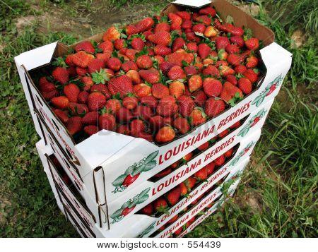 Flats Of Strawberries