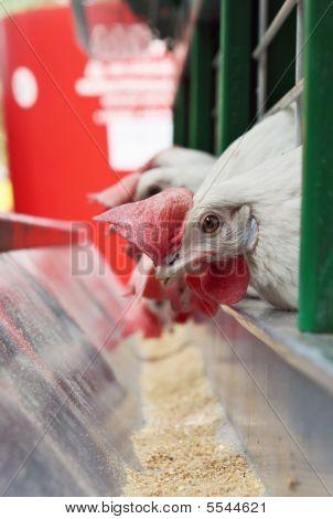 Hens Near A Feeding Trough