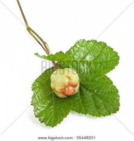 fresh cloudberry ( Rubus chamaemorus) isolated on white