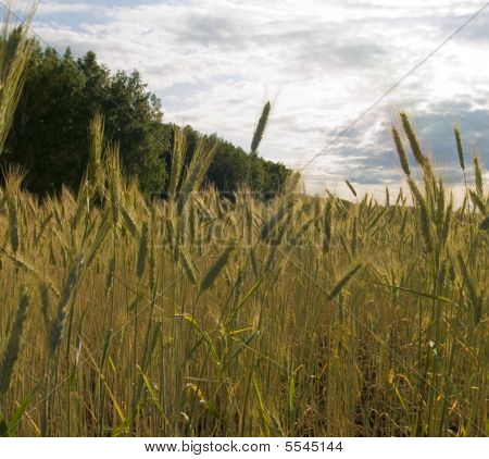 Wheat On A Field