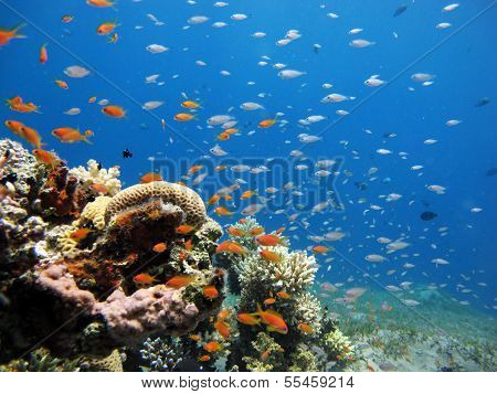 Damsels and anthias