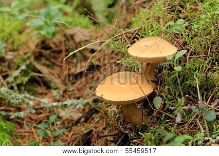 Mushroom Suillus Bovinus Growing In The Forest (suillus Bovinus)