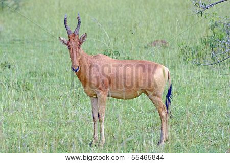 Lelwel Hartebeest In The Savannah