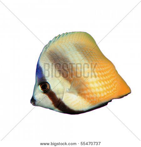 Blacktip Butterflyfish isolated on white background