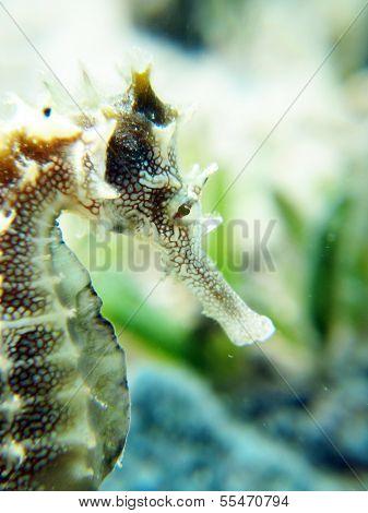 Seahorse portrait