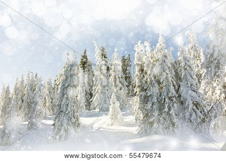 Snow cowered pine trees on the mountains