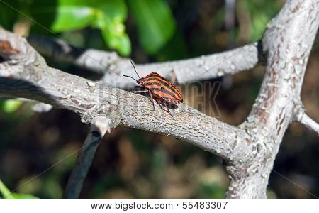 Striped Beetle On A Stem