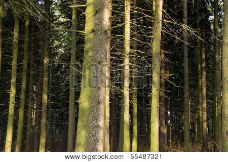 Fir (Picea) forest. Old spruce trees.