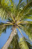 Palm tree against clear sky; Koh Pha Ngan; Thailand