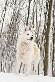 stock photo of laika  - Beautiful West Siberian Laika in white snow