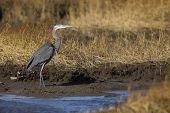 stock photo of marsh grass  - Blue Heron standing in salt marsh - JPG