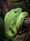 stock photo of terrarium  - Green tree python  - JPG