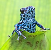 stock photo of rainforest animal  - Blue strawberry poison dart frog from the tropical rain forest in Panama - JPG