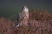 stock photo of merlin  - A captive Merlin - JPG