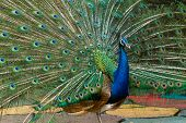 Male Peacock Displaying Its Stunning Tail Feathers