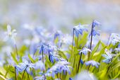 image of early spring  - Spring background with early blue flowers glory - JPG