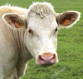 picture of charolais  - Charolais cow grazing on pasture in Burgundy, France. Charolais cattle are a beef breed of cattle which originated in Charolais, around Charolles, in France
