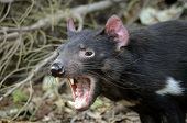 picture of growl  - the tasmanian devil is growling and snarling fiercely