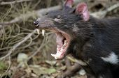 image of growl  - the tasmanian devil is growling and snarling fiercely