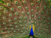 stock photo of indian peafowl  - The Indian Peafowl - JPG