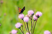 Aglais Urticae Butterfly On Flowers